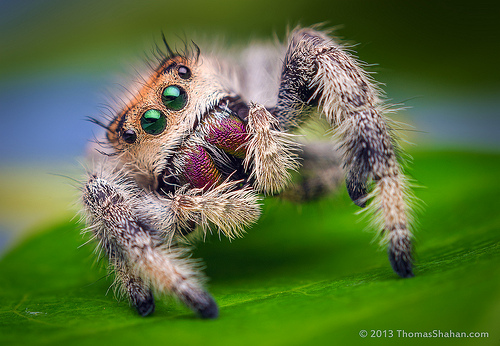Friendly-jumping-spider-Thomas-Shahan-17exizc